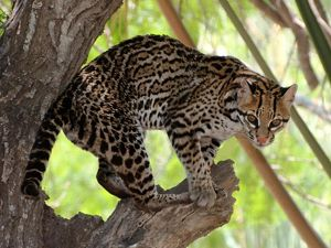 Less than 1,000 of these cats are thought to survive, roaming between Texas and Mexico via wildlife corridors.