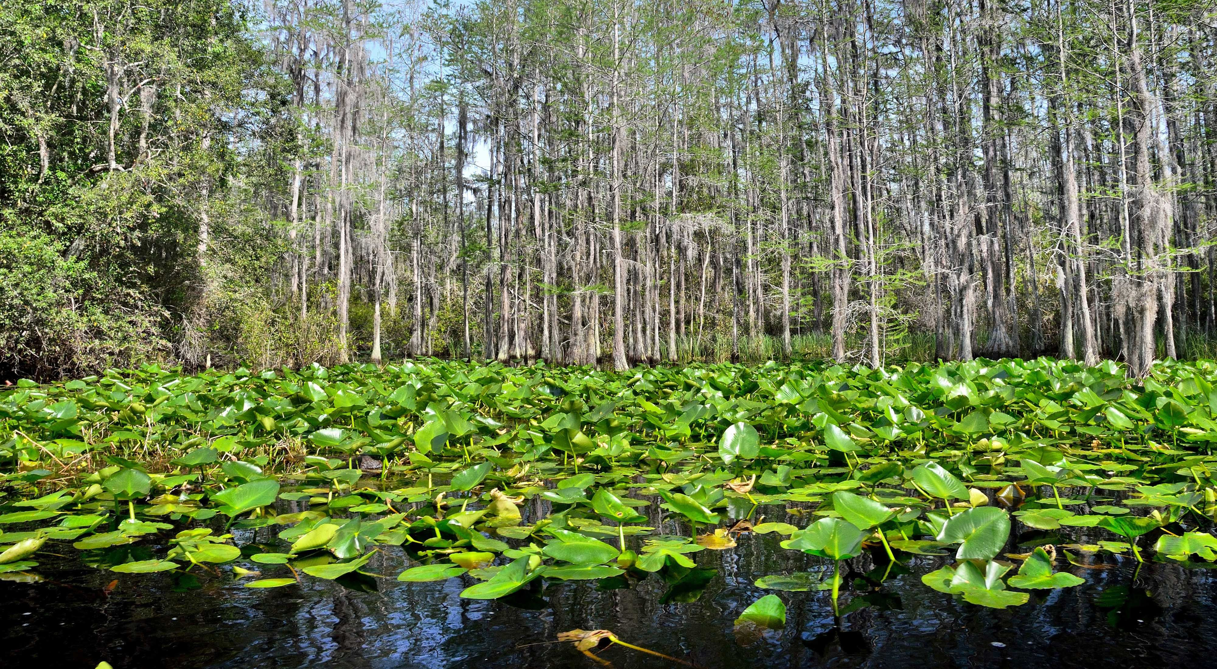 Lily pads and cypress trees are among the many plant species that thrive in the Okefenokee National Wildlife Refuge.