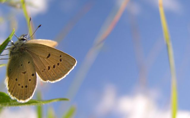 An underwing shot of the Fender's Blue butterfly, an endangered butterfly that calls Oregon prairie home.