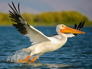 While working as a banding intern for the Klamath Bird Observatory in September 2012, I spent many weekends canoeing around Klamath Lake photographing birds. During this time of year the lake was full of many water bird species, including American White Pelicans. Photographing in a canoe allowed me to get very close to these incredible birds and capture their take-offs from the water.