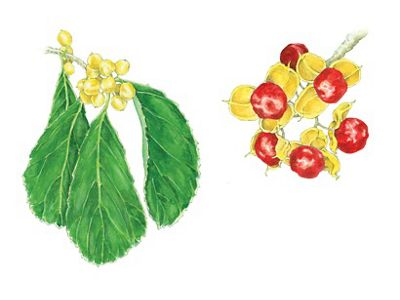 Oriental bittersweet leaves and fruit illustration