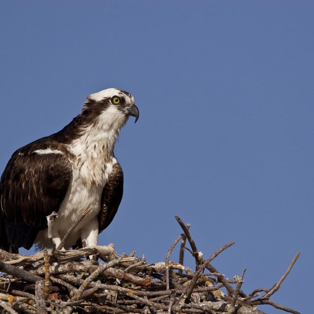 An osprey, a diurnal, fish-eating bird of prey, sits on its nest.