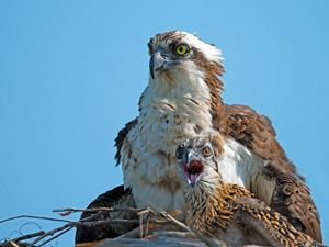 osprey with chick in nest