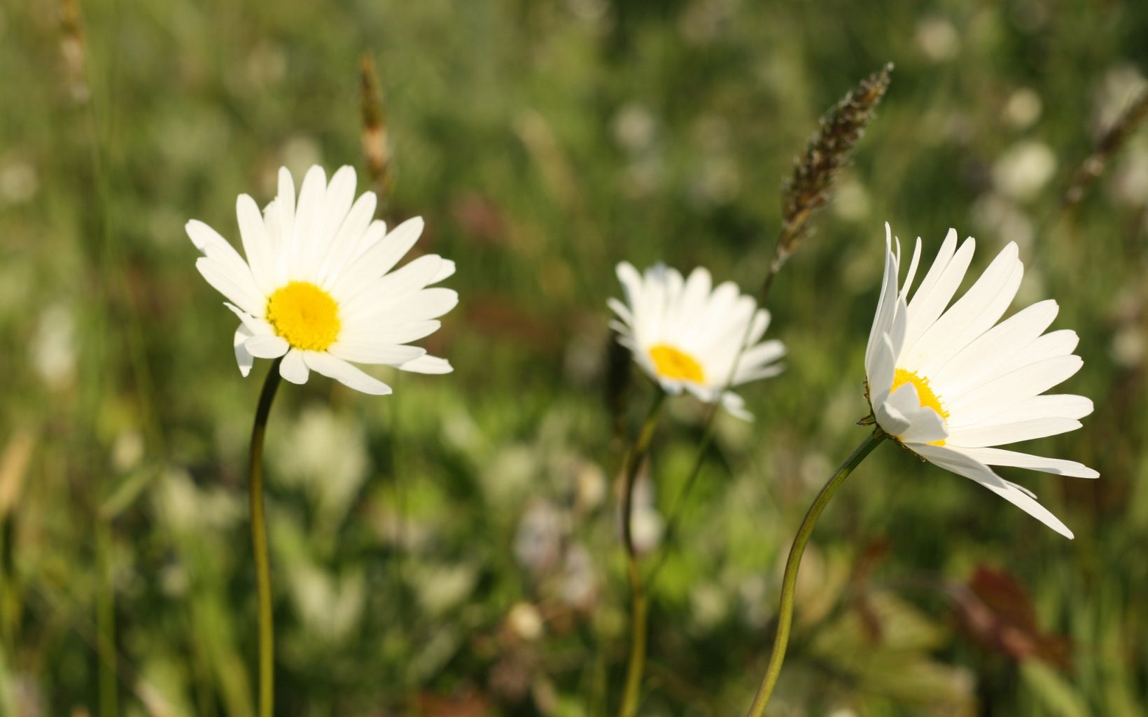Three small white daisies with yellow centers.