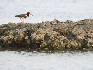 oystercatcher on reef