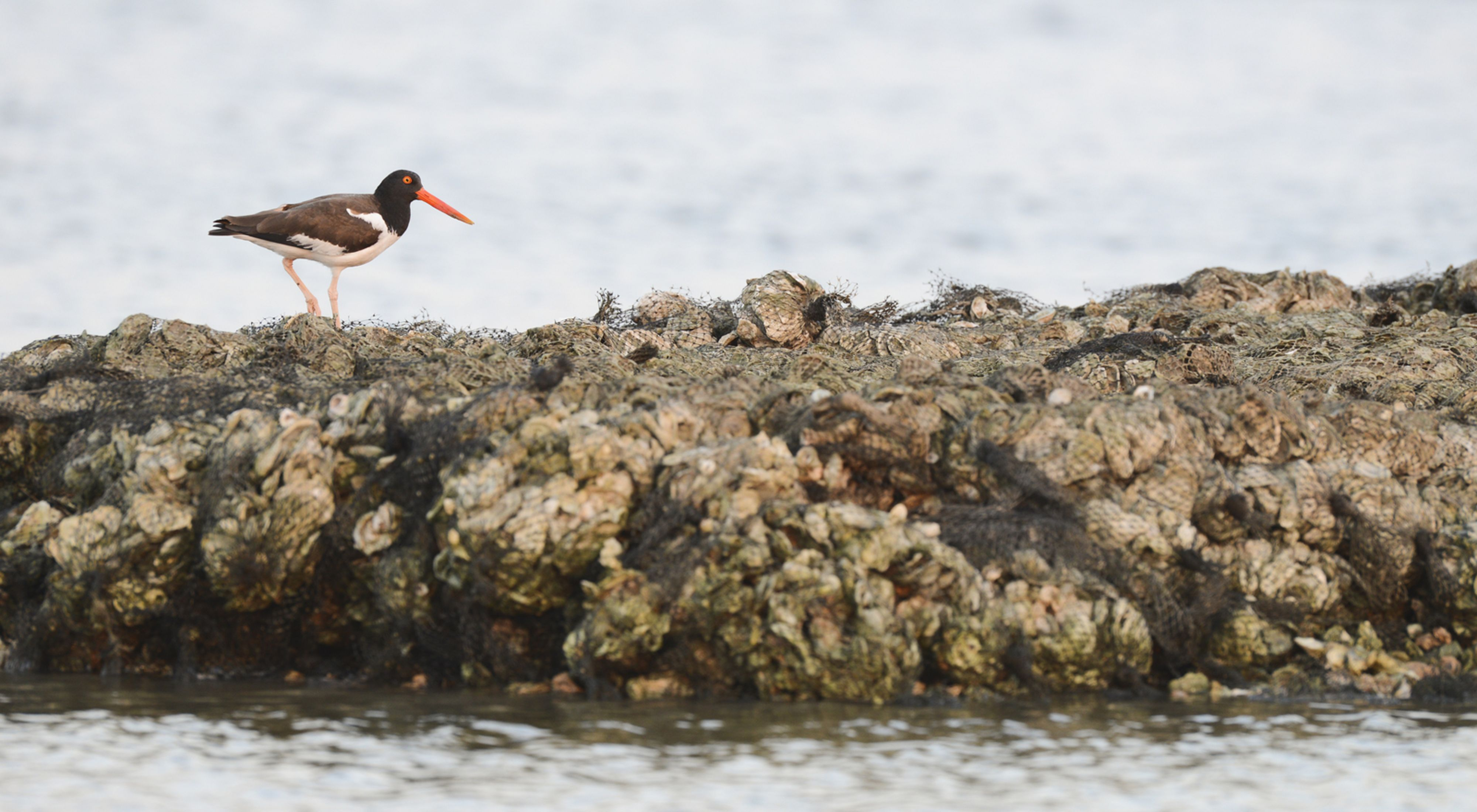 American oystercatcher (Haematopus palliatus) walks along a restored oyster reef.