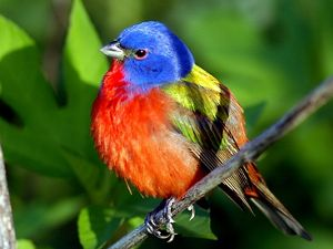 Painted Bunting at Grand Isle, Louisiana