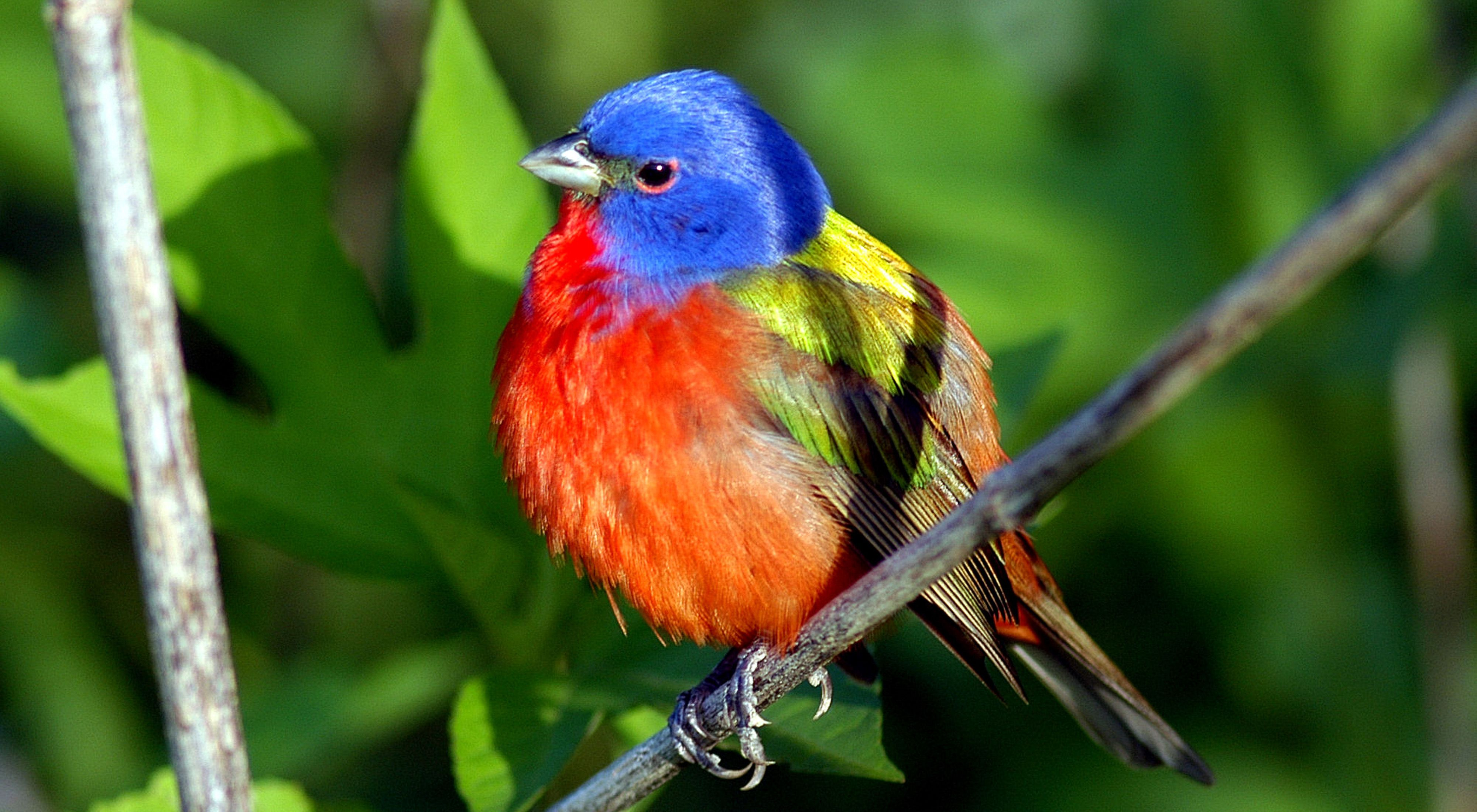 Close up of a painted bunting.