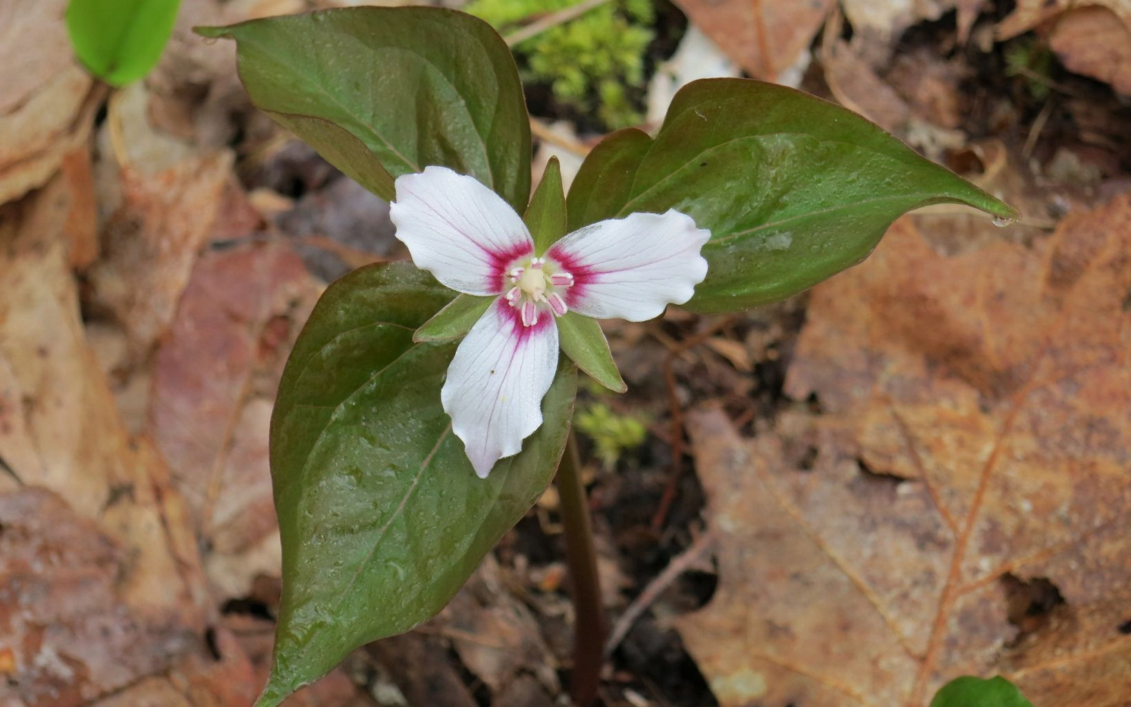 Morgan Swamp Preserve protects many rare plants that are more typically associated with more northern climates such as the painted trillium.
