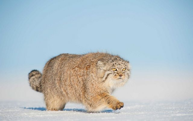 A Pallas's cat walking in snow in the Gobi Desert, Mongolia
