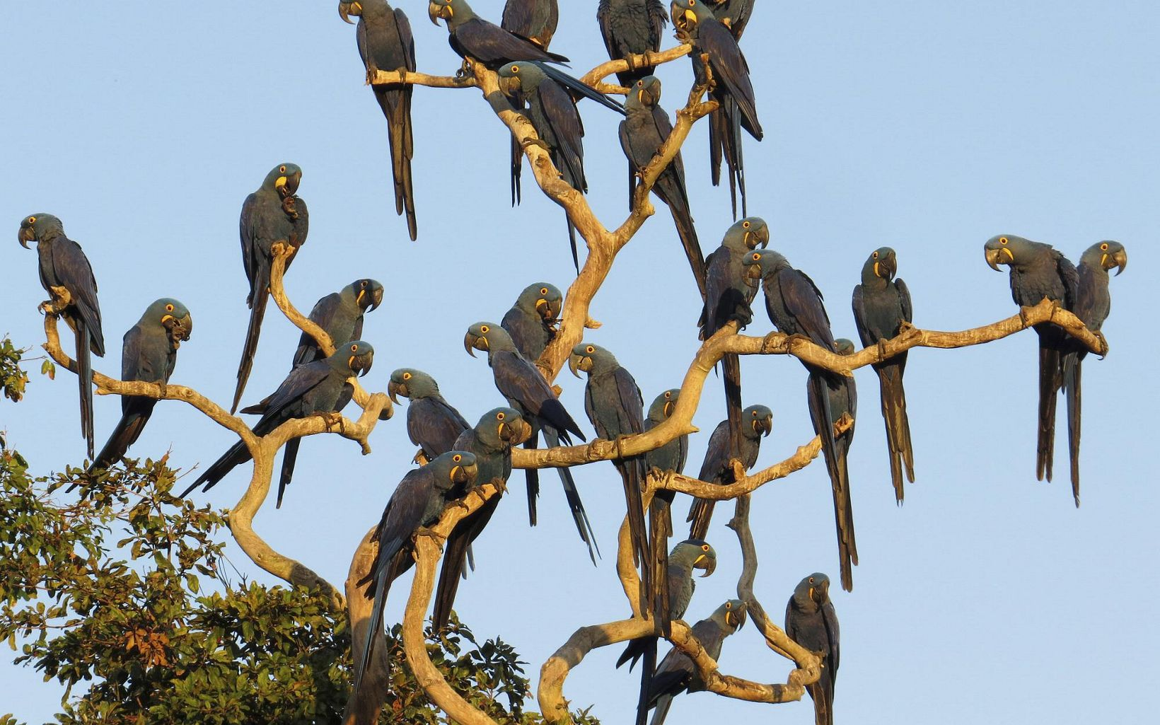 A large group of blue macaws sitting in a tree.