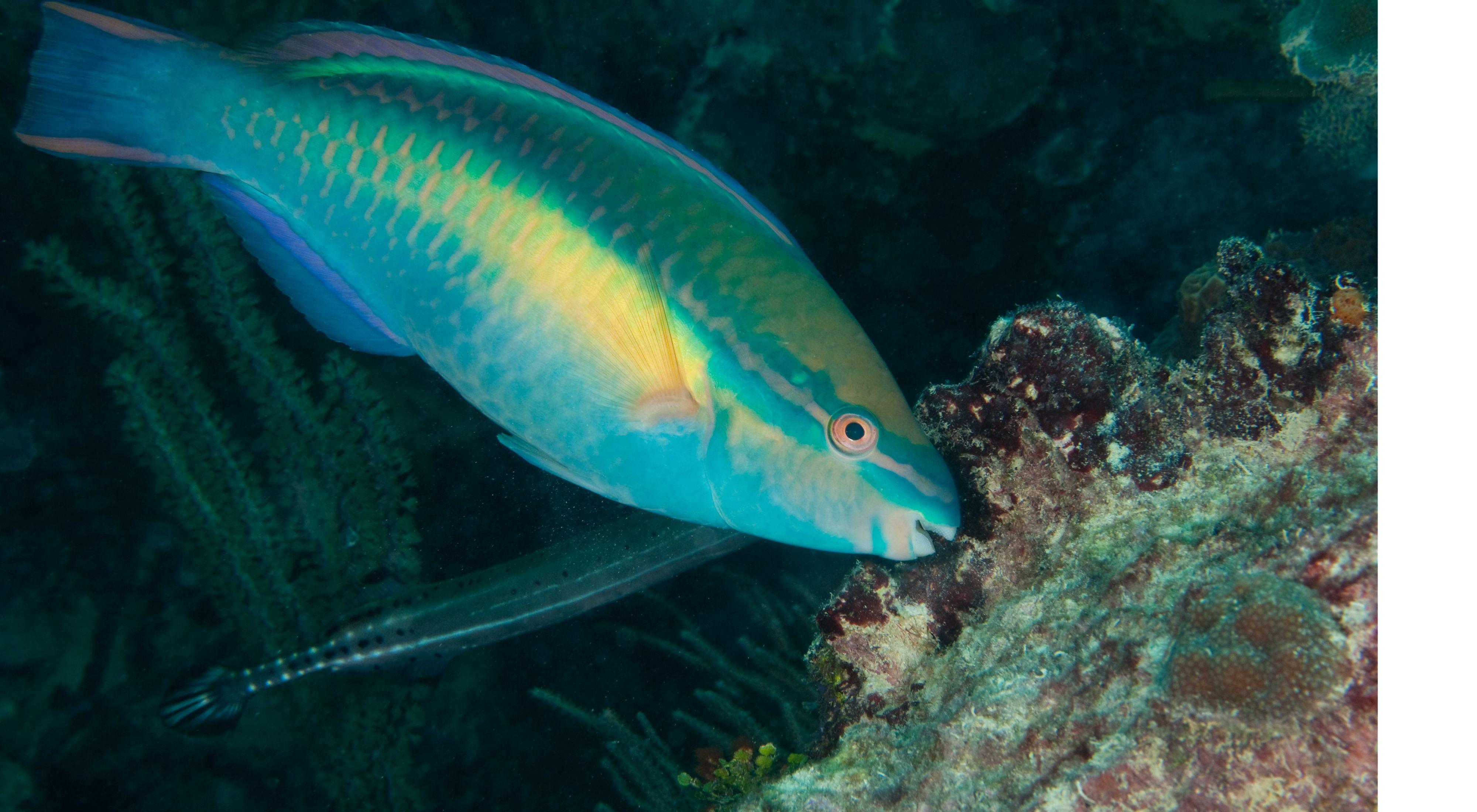 Princess parrotfish in Samaná Bay, Dominican Republic