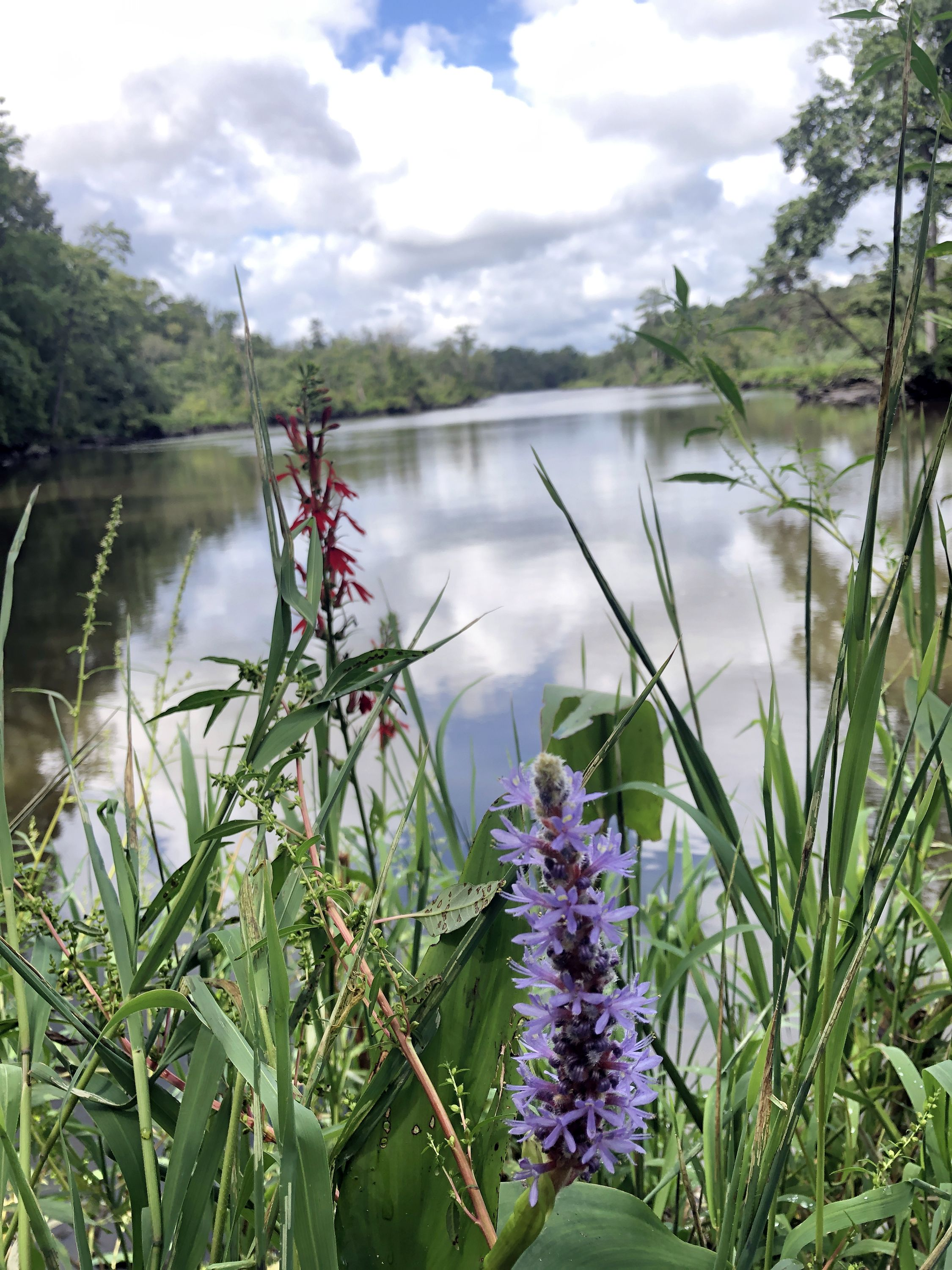 Two plants, one with thin red flowers and the other dense purple blooms, grow on the banks of a wide river. Tall shoots of grass grow up around the flowers. White clouds are reflected on the water.