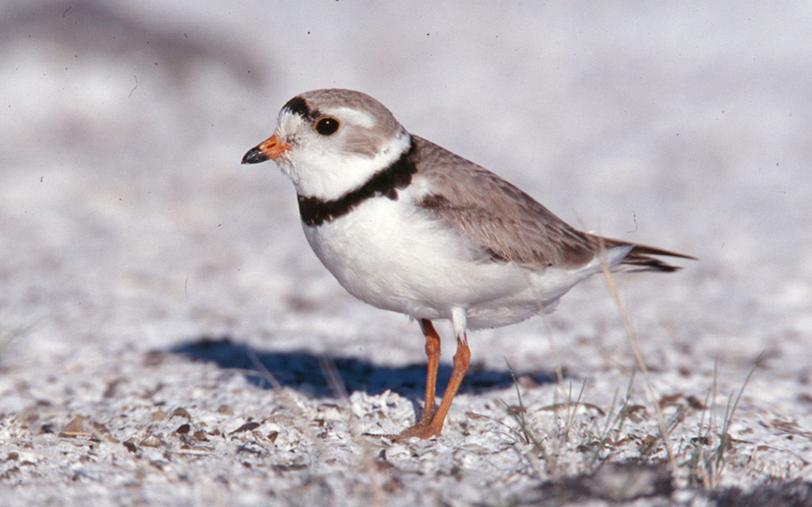 Small grey and white bird standing in white sand.