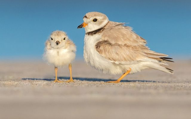 Two piping plovers on the beach, mother and her young chick.
