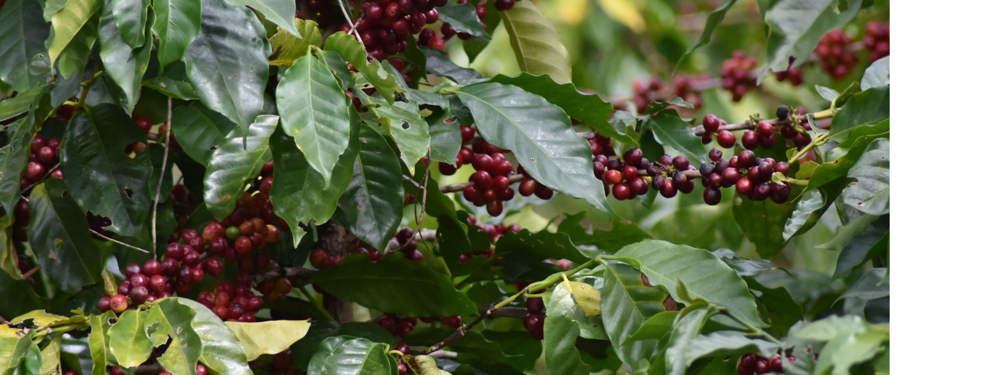 Coffee plant in El Salvador
