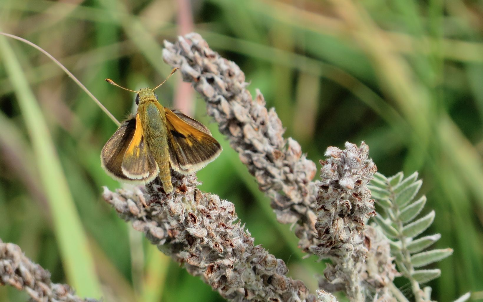 The Ottoe skipper or prairie skipper butterfly (Hesperis ottoe) is dependent on open, native prairie that is well-managed for plant and habitat diversity.