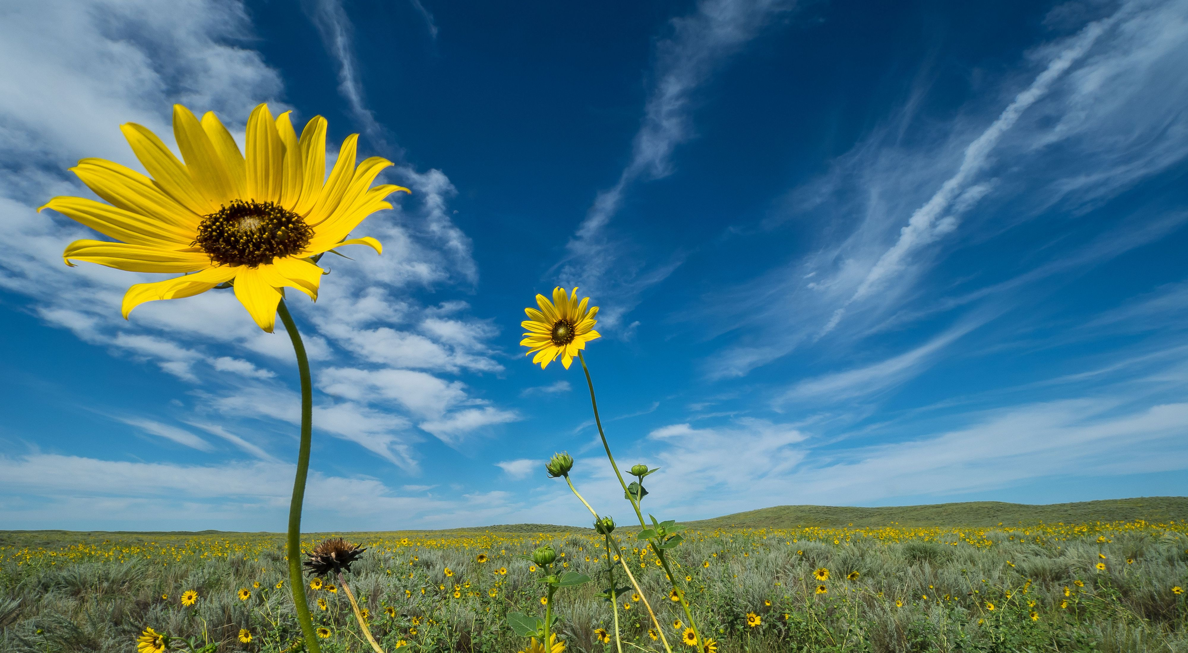 Yellow flowers growing in a field of lush green sage grass with a bright blue sky streaked with white clouds above.