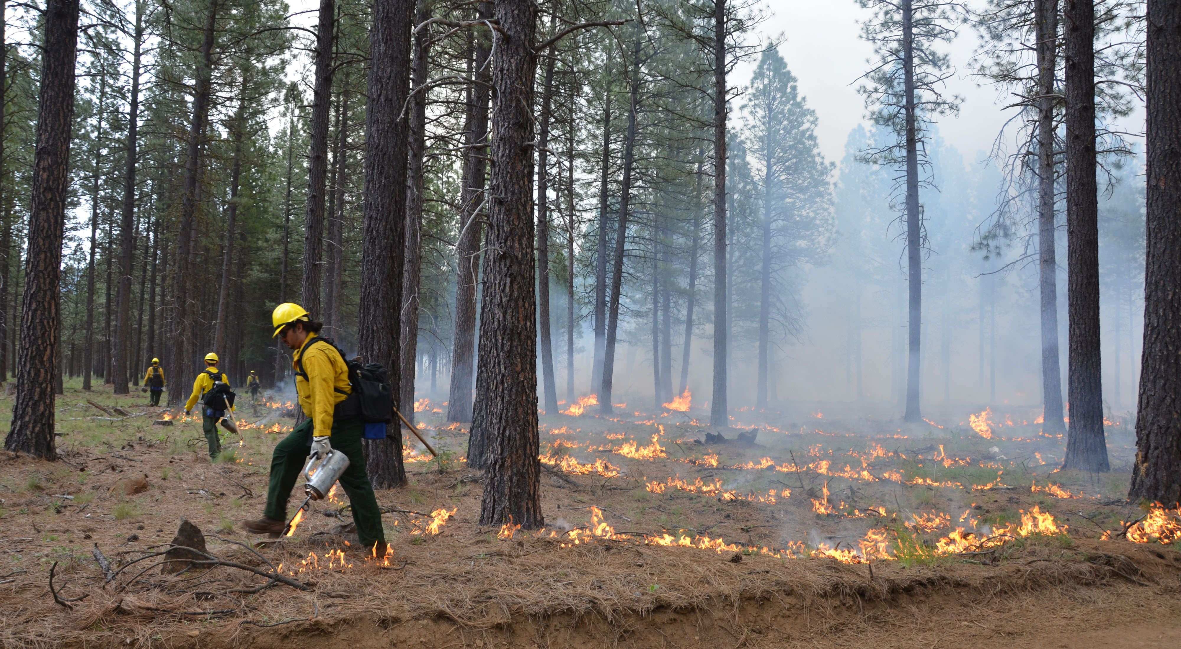 Staff in safety gear with flamethrowers spread out through a forest setting fire to the leaf litter.