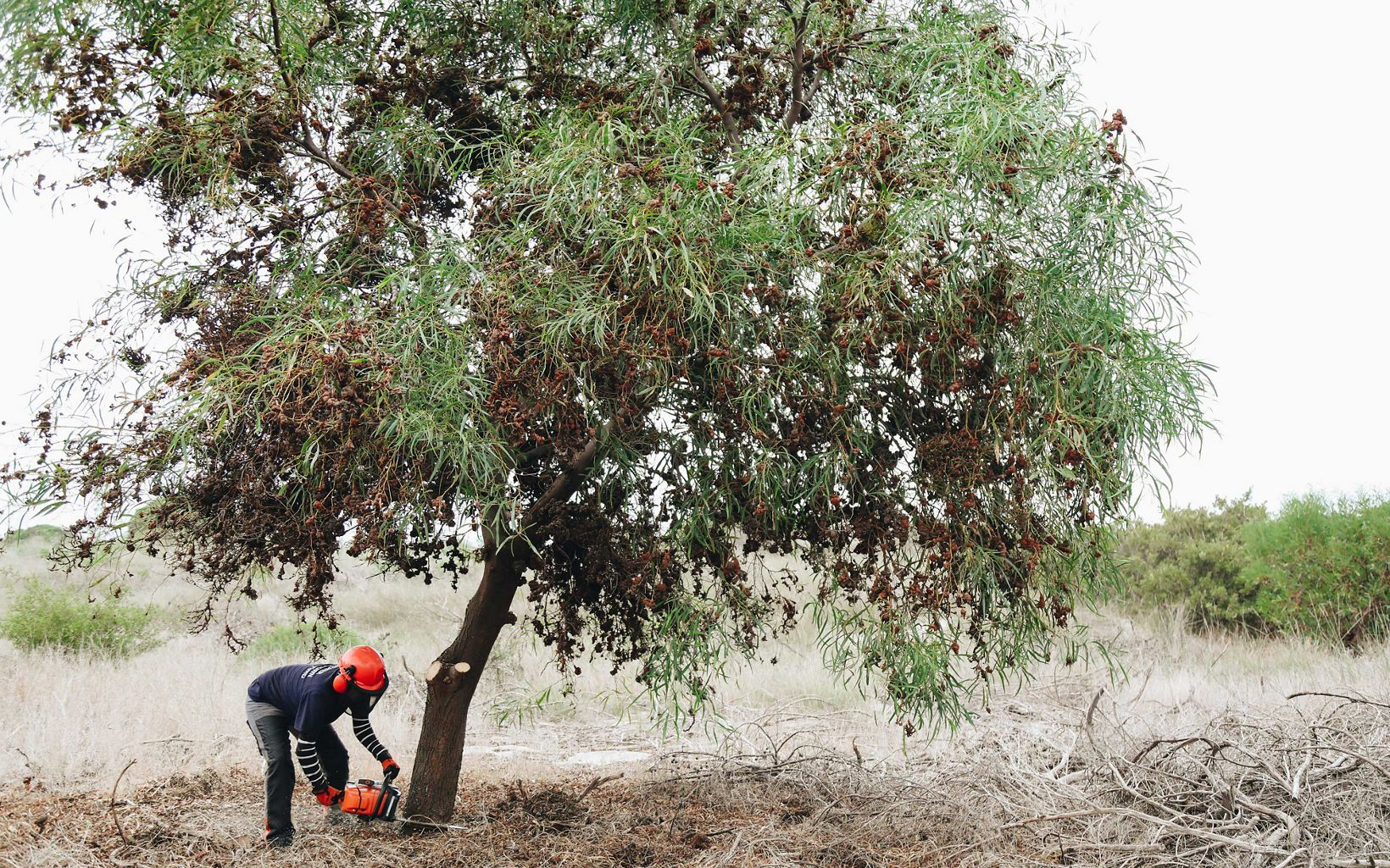 Clearing a non-native tree to help improve water supply