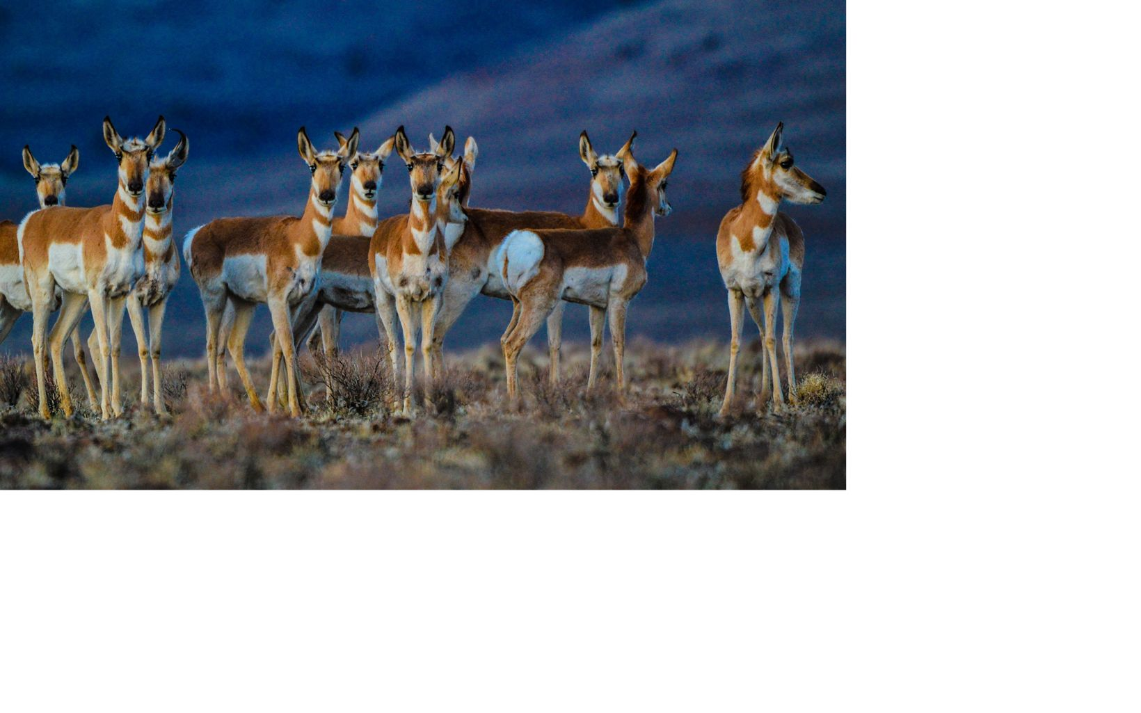 Pronghorn antelope are often found in and around the ranch