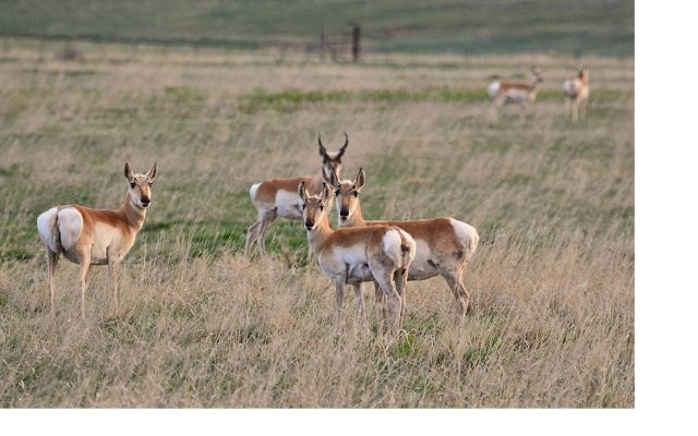Pronghorn antelope graze at Carrizo Plain in San Luis Obispo County