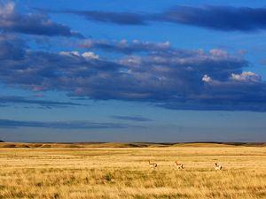 Pronghorn on Montana's Northern Great Plains.