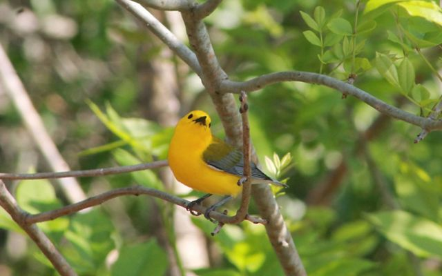 A bright yellow songbird with gray and black wings perches on a tree branch.