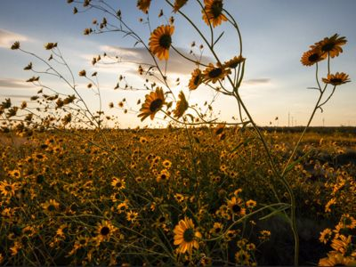 Scenic photo of bright yellow, puzzle sunflowers in a field.