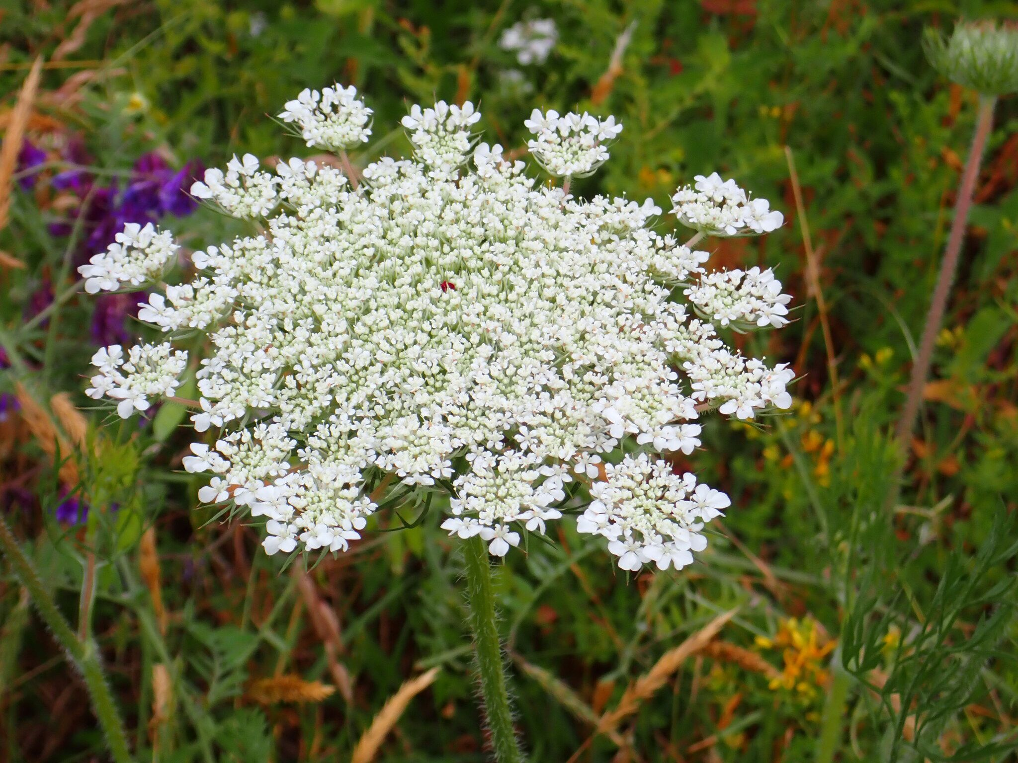 A large white Queen Anne's lace flower is growing in a field.