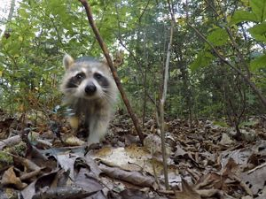 A rehabilitated raccoon released into the wild.