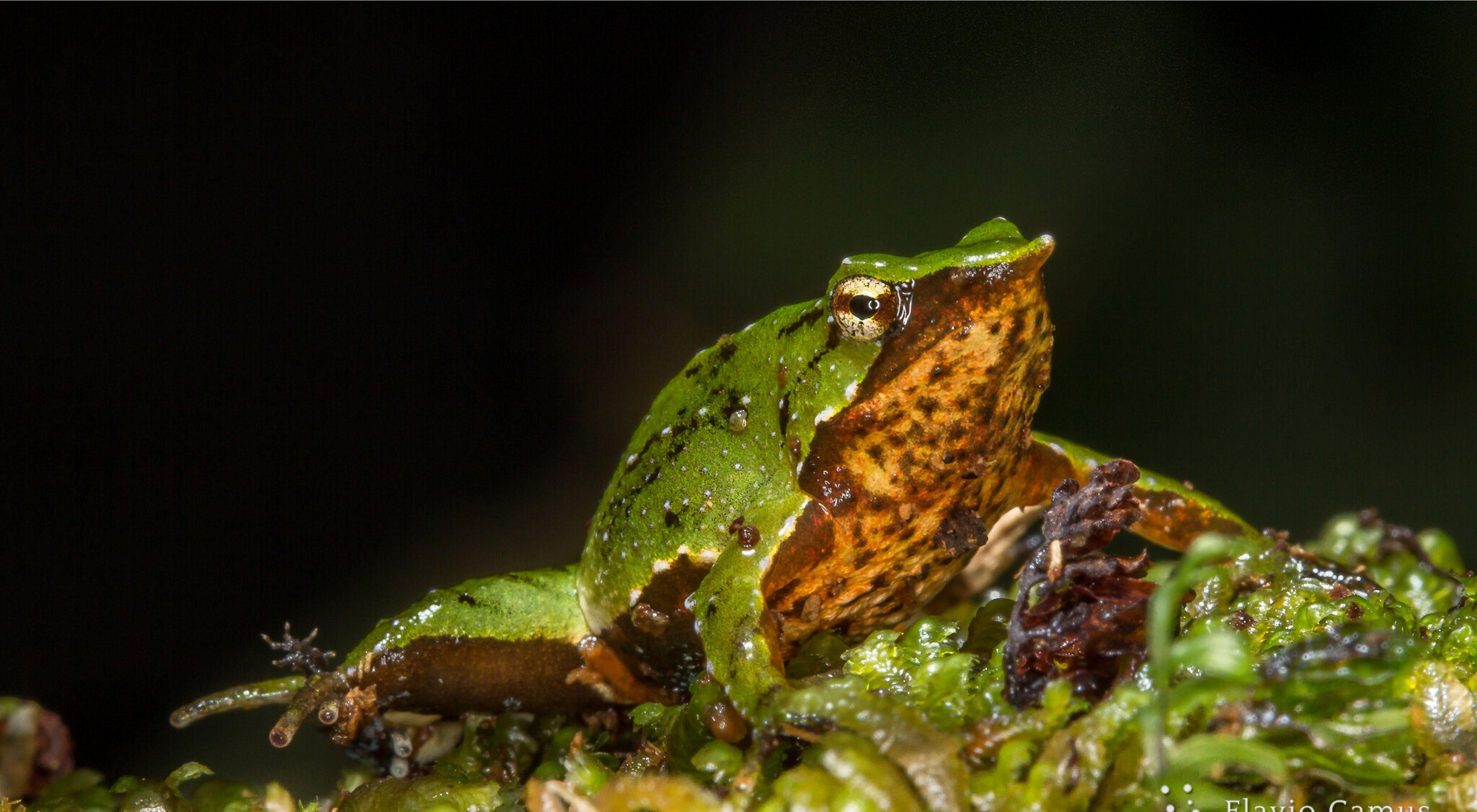 Esta especie de anfibio nativa del sur de América está en peligro de extinción.
