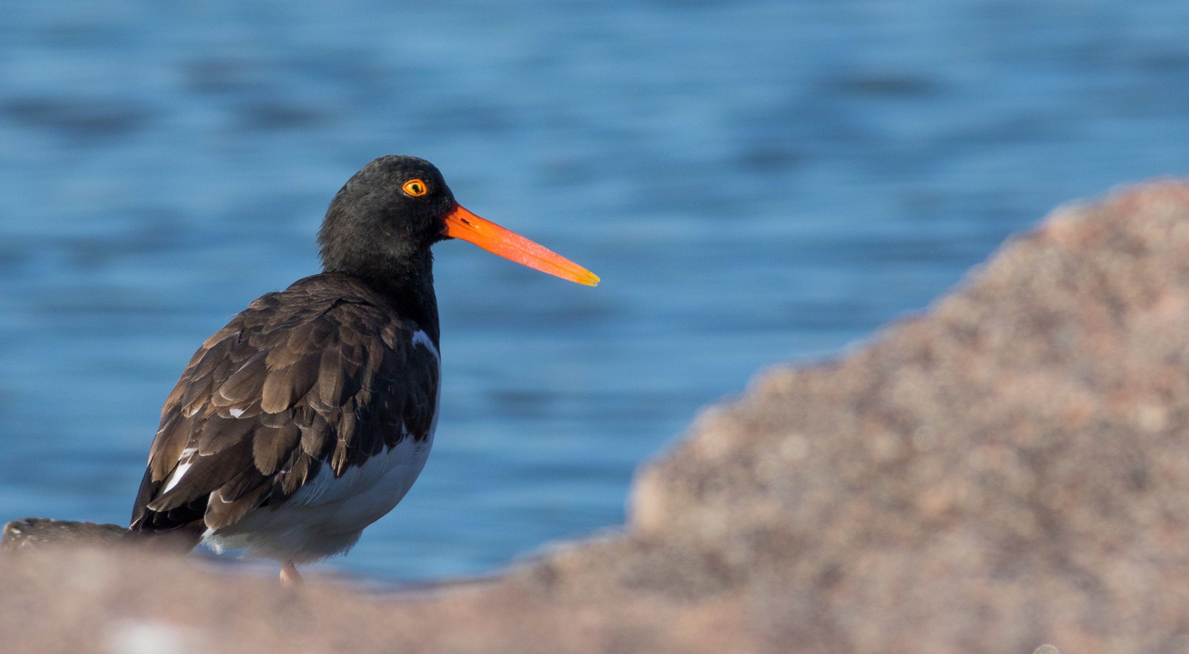 Esta ave que habita las costas se mimetiza en el entorno anidando en las arenas de la costa.