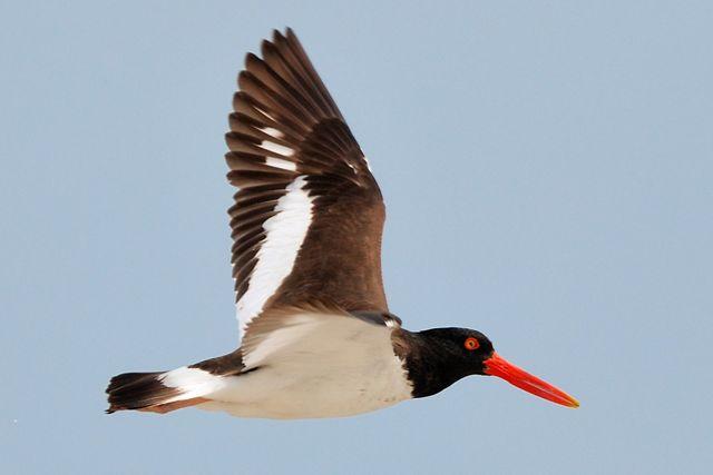Esta ave costera se distribuye por todo el continente americano.