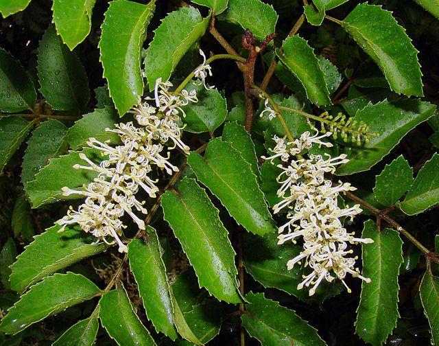El avellano es un árbol nativo de Chile cuyas poblaciones más abundantes se distribuyen en las regiones desde el Maule hasta Aysén.