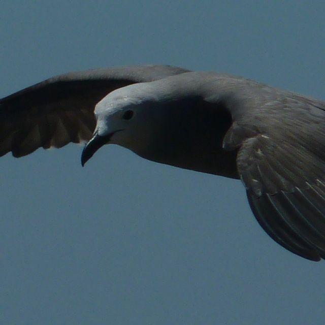 Una gaviota garuma en pleno vuelo en la costa de Perú.