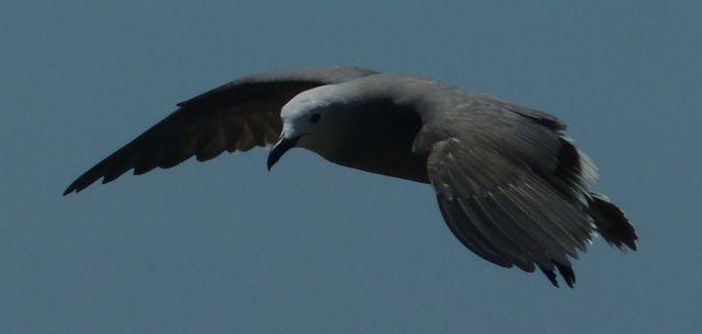Esta especie vive en las costas del Pacífico desde Costa Rica hasta Chile. Anida en los litorales y busca su alimento en las costas.