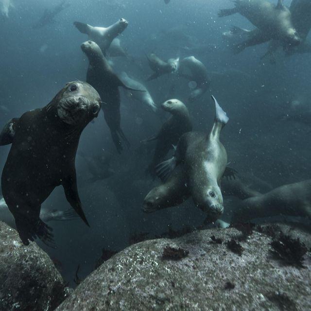 Lobos marinos bajo el agua, mirando la cámara en la RCV.