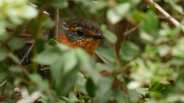 Esta especie de ave es endémica de Sudamérica, en especial del bosque  templado lluvioso de la zona sur de Chile, encontrándose también en algunas zonas en Argentina.