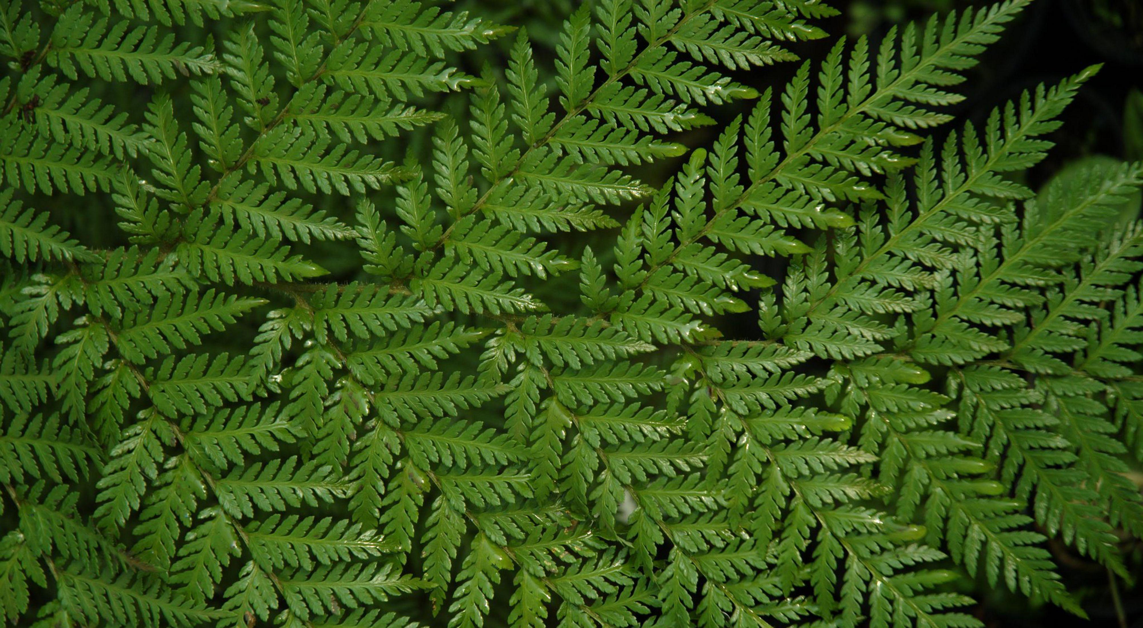 Para su desarrollo exige considerable humedad, dentro del bosque sombrío y se encuentra asociada a otras plantas higrófilas.