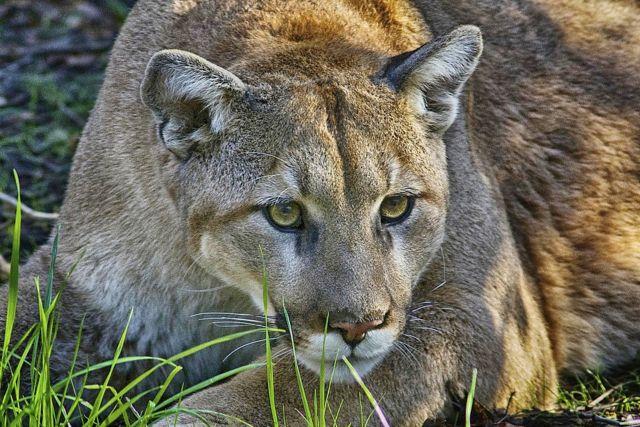 El Puma concolor es la especie de felino más distribuida por el continente, desde Canadá hasta el sur de Chile.