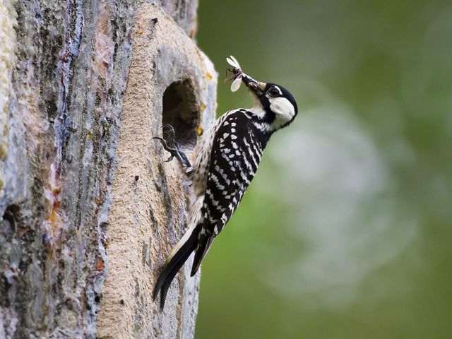 The red-cockaded woodpecker is an at-risk species under pressure from a loss of forested habitat.