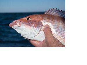 red snapper displaying barotrauma