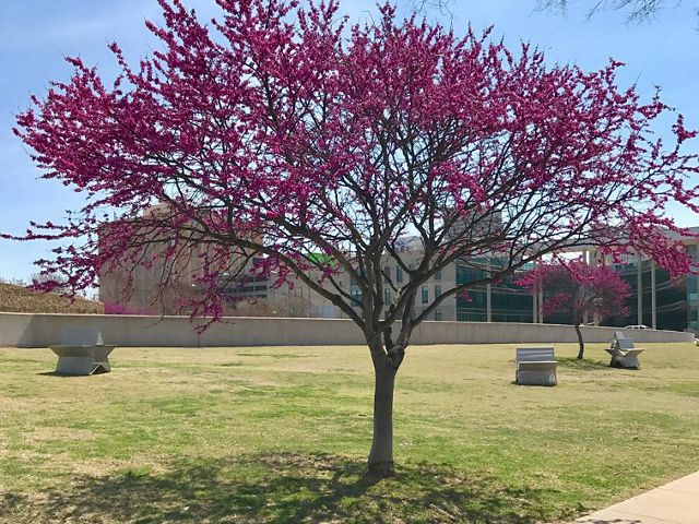 Oklahoma's state tree, the Eastern Redbud, Cercis canadensis.