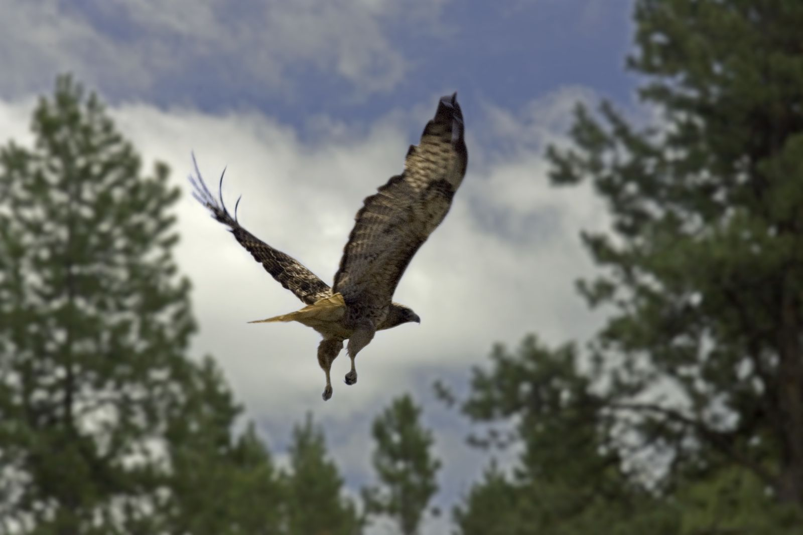 Red-tailed hawk flying.