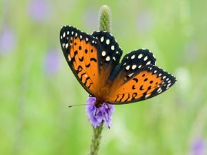 Orange and black butterfly with white spots on a purple flowering stalk.