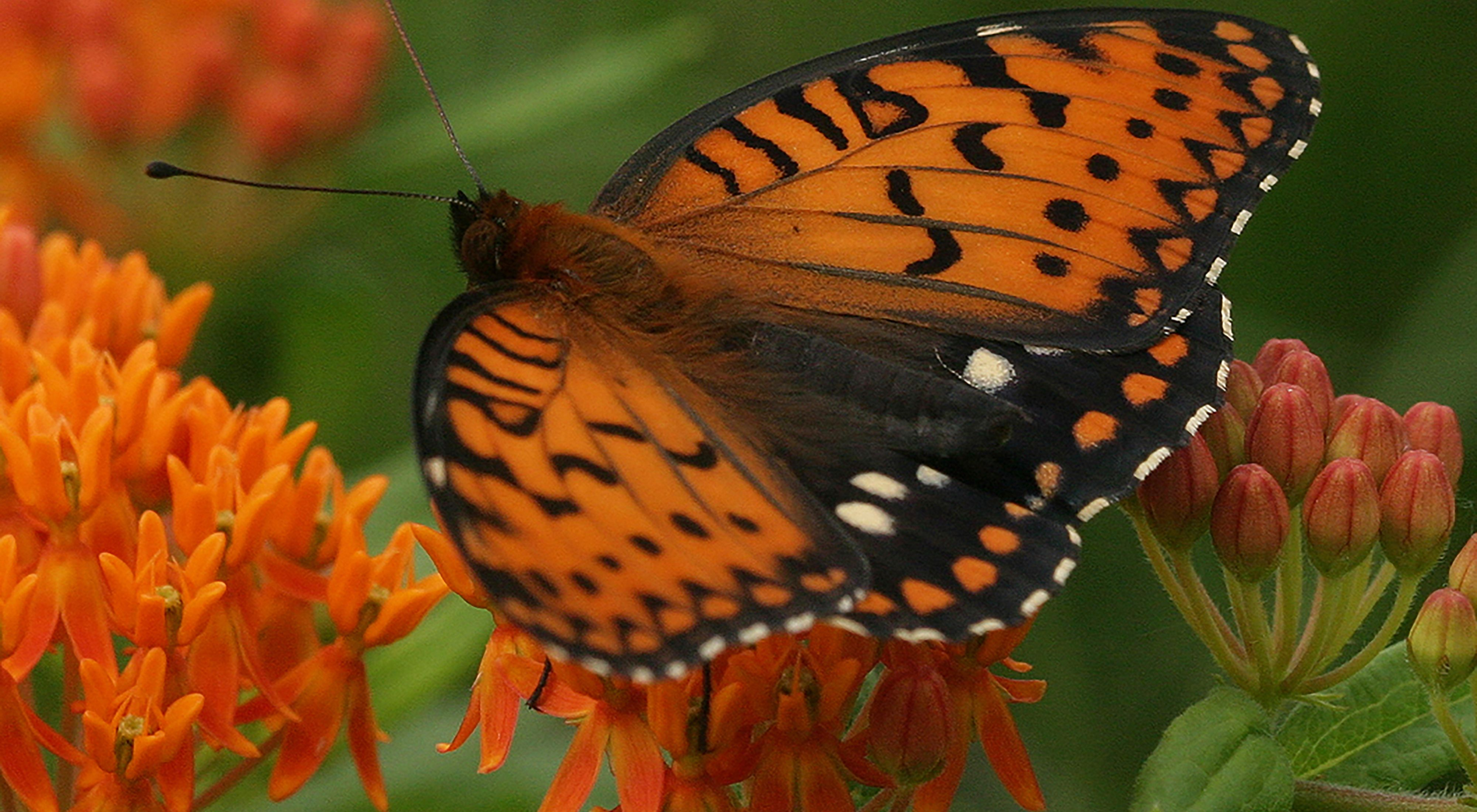 Closeup of an orange, black and brown butterfly on orange flowers.