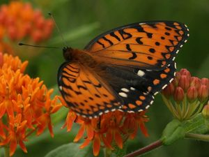 Regal fritillary on butterfly weed.