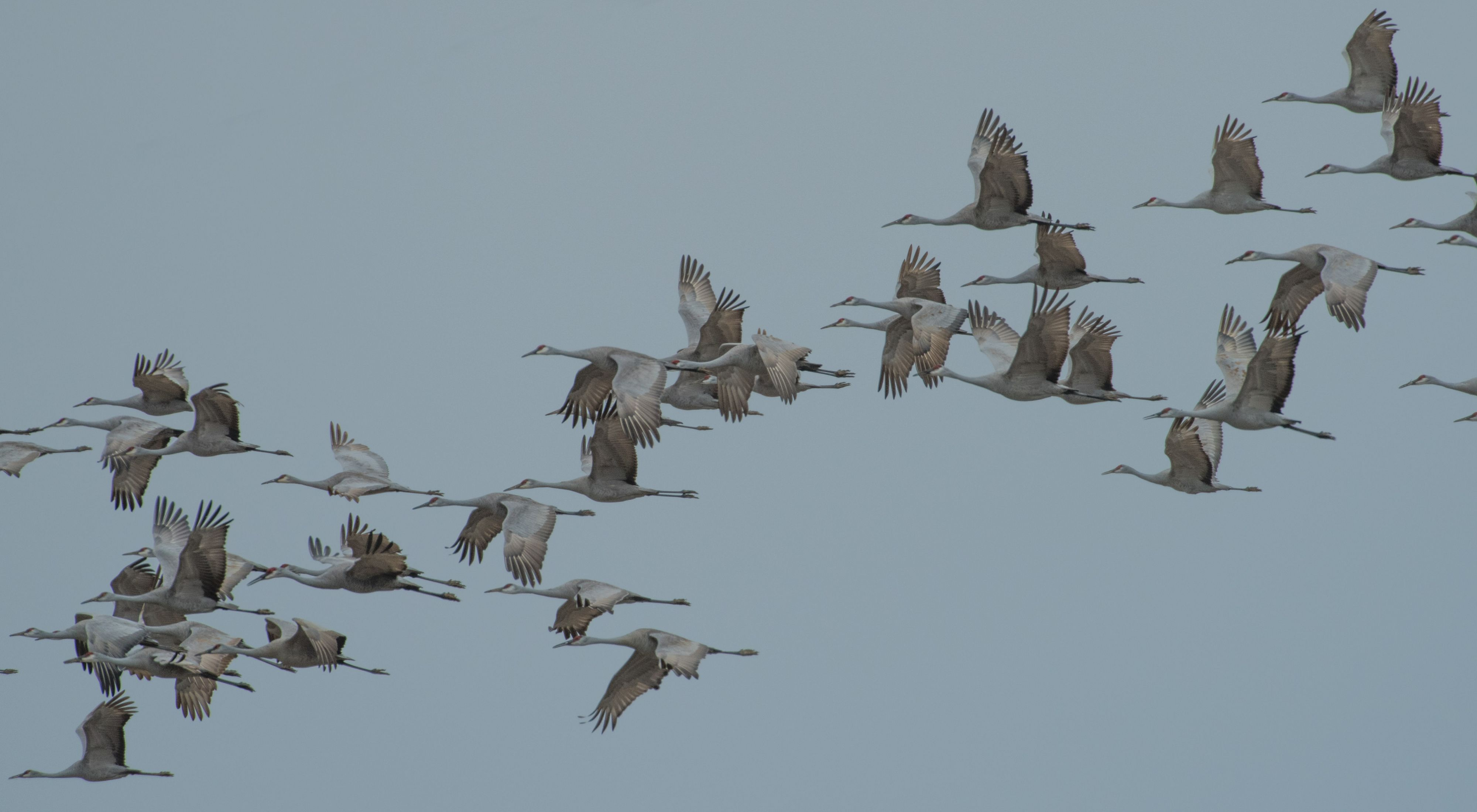 A flock of large gray cranes in flight.