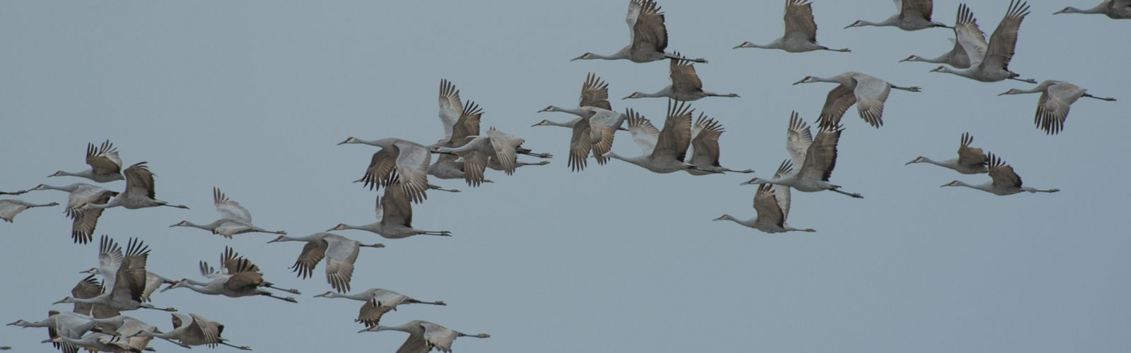 The long-distance migration of Sandhill crane is one of the greatest spectacles of nature.